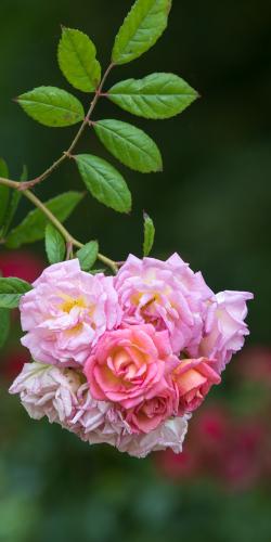 Roos trosje