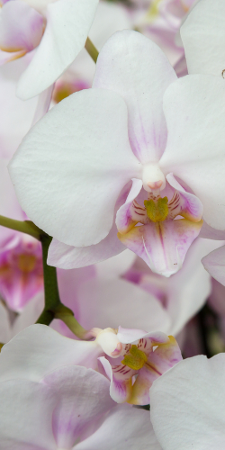 Orchidee wit/paars