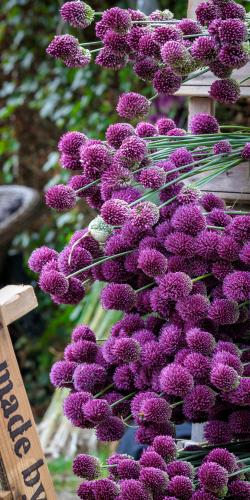 Allium-sierui 5