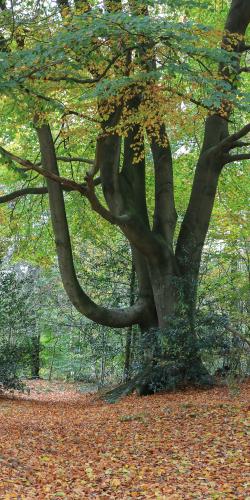 Beukenboom in bos