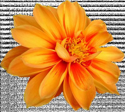 Dahlia geel