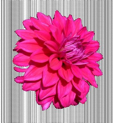 Dahlia roze